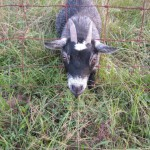 goat-fence